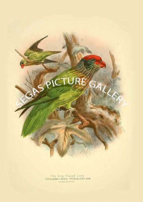 Fine art print of the Grey-footed Lory - Ptilosclera versicolor by St George Mivart (1896)